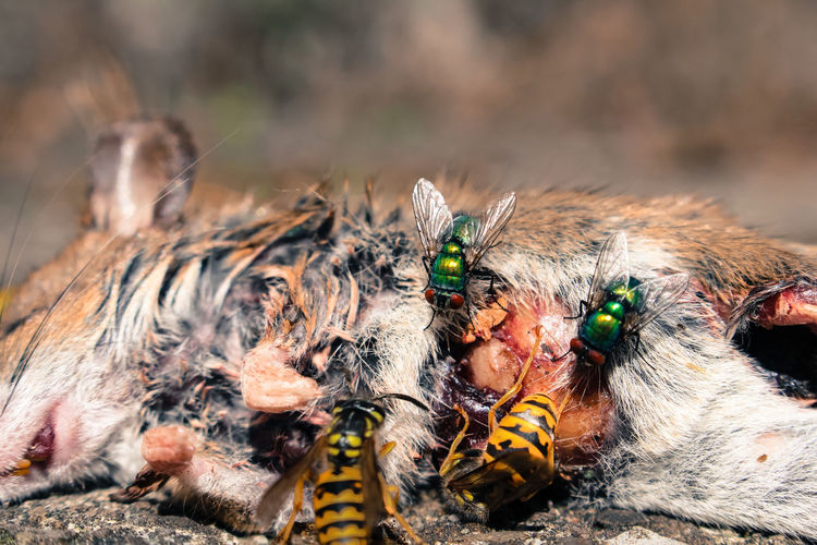 Close-up of dead mouse and insects.