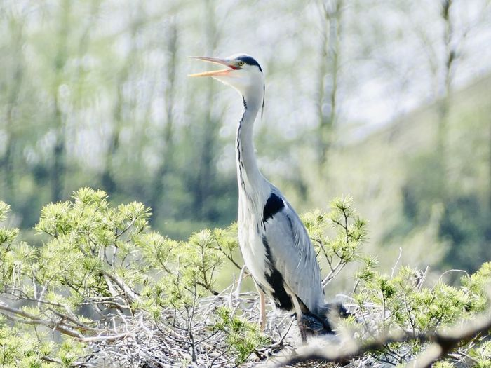 High angle view of gray heron perching on a tree