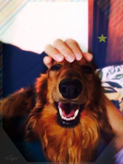Dachshund Dog Mypet Cute 犬 Photography Ilovemydog