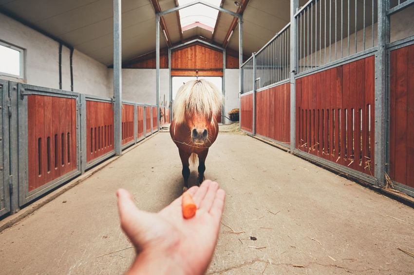 Hand of the farmer offering carrot and and miniature horse in the middle of the stable. Barn Carrots Curiosity Curious Farm Farm Life Farmer Feeding  Giving Horse Human Hand Hungry Inside Livestock Lure Mini Horse Miniature Horse Offering Pony Ranch Ranch Life Real People Showing Stadler Stallion