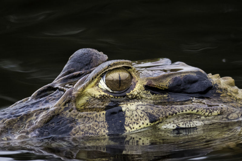 Close-up of crocodile swimming lake
