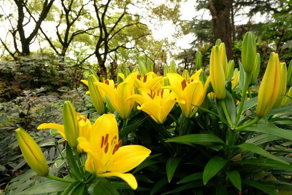 EyeEm Best Shots - Nature From My Point Of View Lily Plants 🌱 Yellow Flower Springtime Pure Nature Prints Of Nature Garden Architecture EyeEm Nature Lover EyeEm Best Shots Color Portrait