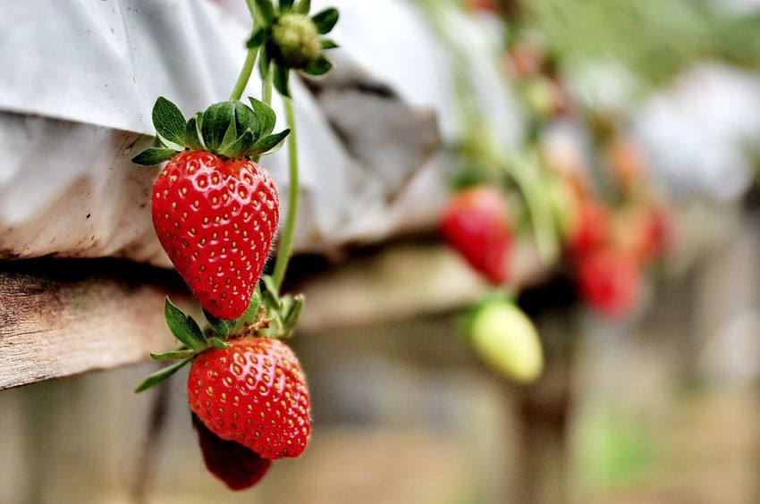 Red Strawberry Fruit Freshness Close-up No People Nature Strawberry Plant Strawberry Farm