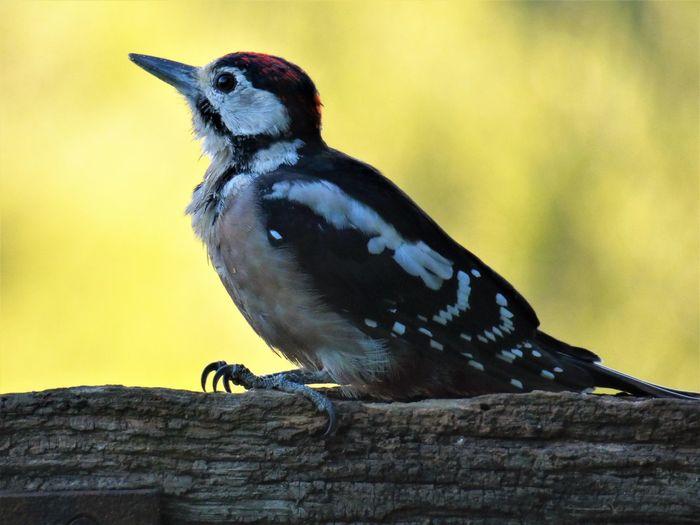 Close-up of woodpecker bird perching on tree