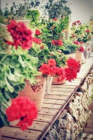 Flowers Green Red Enjoying Nature Life In Colors EyeEm Nature Lover Sardunya Beauty