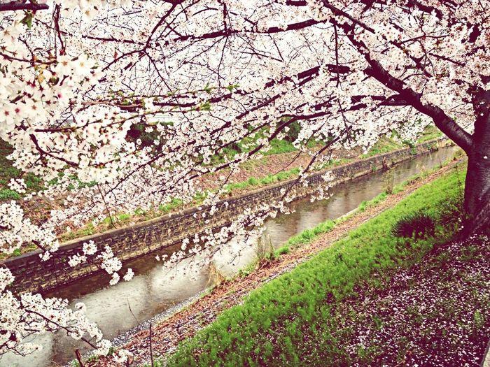 桜の佐保川なんだな