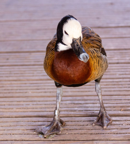 Bird Animal Duck No People Focus On Foreground Wood Day Close-up Wood - Material Nature
