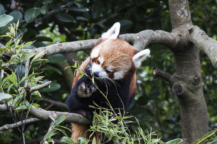 Red Panda Relaxing On Tree Branch In Forest