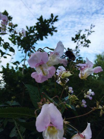 Flower Petal Growth Fragility Beauty In Nature Nature Flower Head Freshness No People Botany Plant Focus On Foreground Tree Blooming Day Pink Color Close-up Outdoors Branch Sky Himalayan Balsam Bumblebee