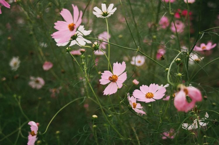 Fall in love Flower Petal Beauty In Nature Nature Plant In Bloom Blossom Pink Color Field Nikonphotography (null)Nikon Analog (null)Photography Analogue Photography Film Photography Film South Korea Gwangju (null)Nature EyeEm Gallery Snapshot Beauty In Nature