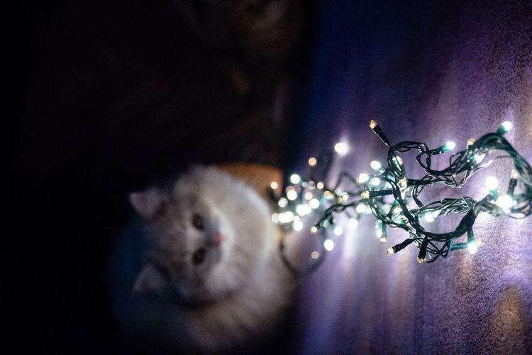 Close-up of illuminated cat