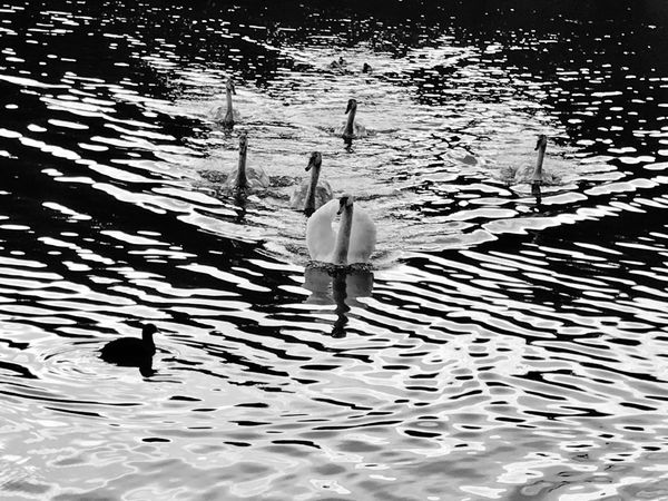 6 ugly ducklings Water Swans Full Length Nature Outdoors