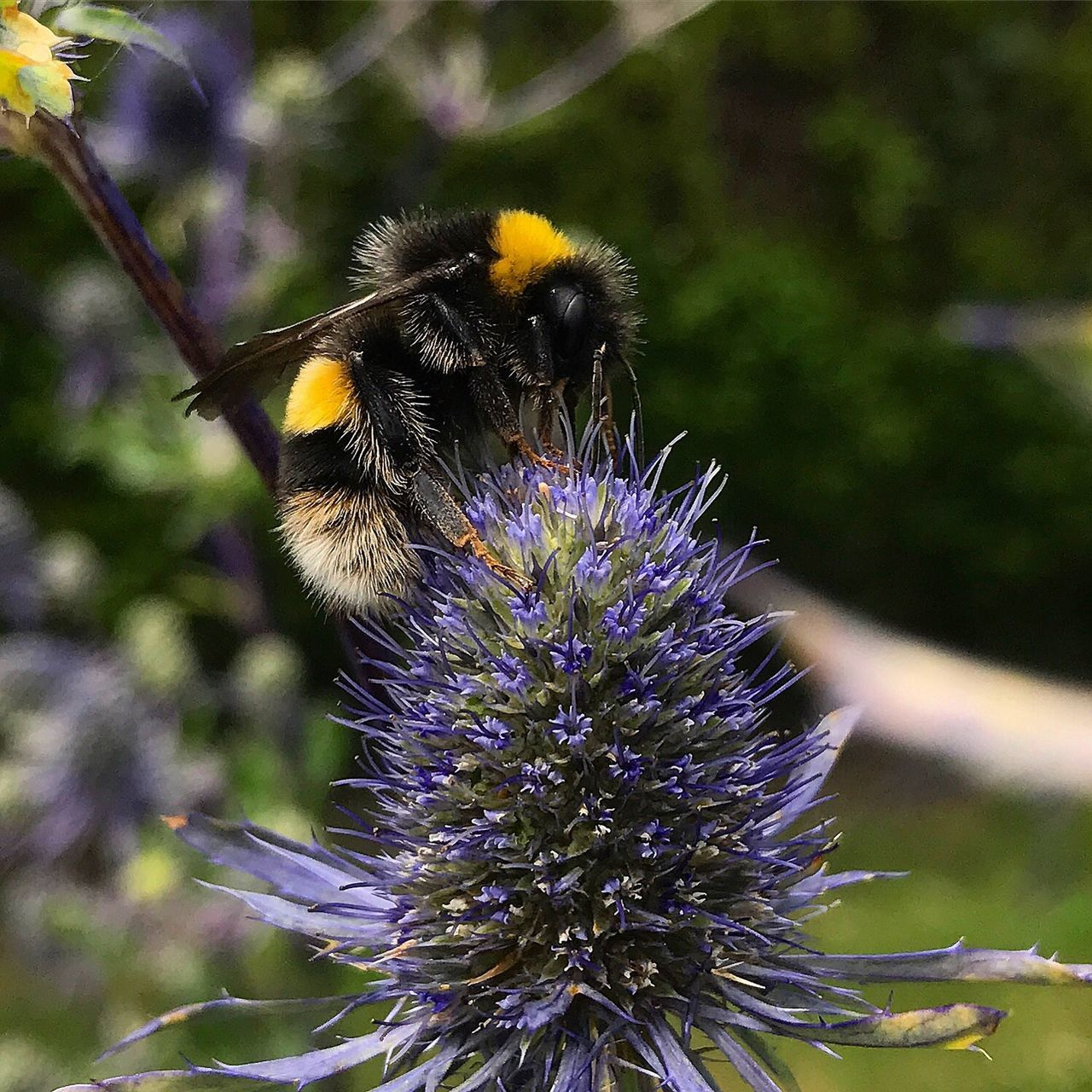 flower, purple, nature, bee, insect, fragility, outdoors, growth, day, animal themes, beauty in nature, plant, petal, one animal, focus on foreground, pollination, animals in the wild, no people, freshness, flower head, bumblebee, close-up, thistle