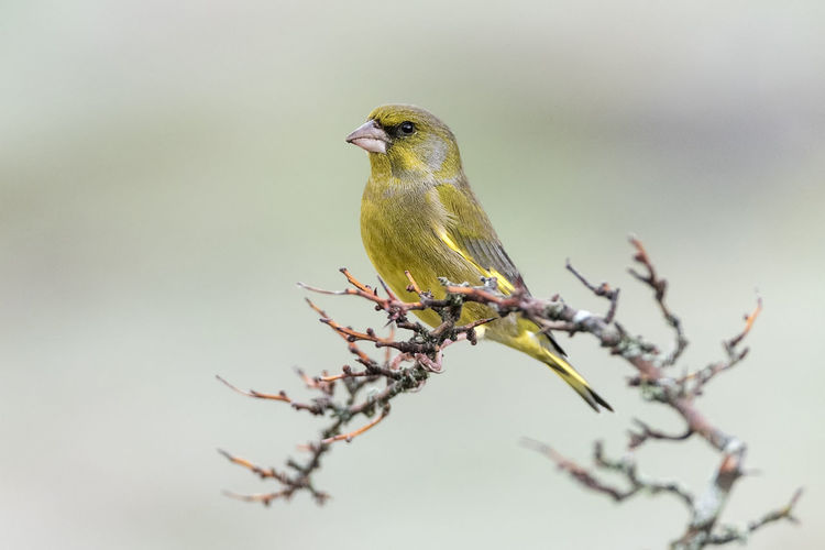 Animal Themes Animal Wildlife Animals In The Wild Beauty In Nature Bird Branch Chloris Chloris Close-up Day European Greenfinch Flower Nature No People One Animal Outdoors Perching Tree Twig
