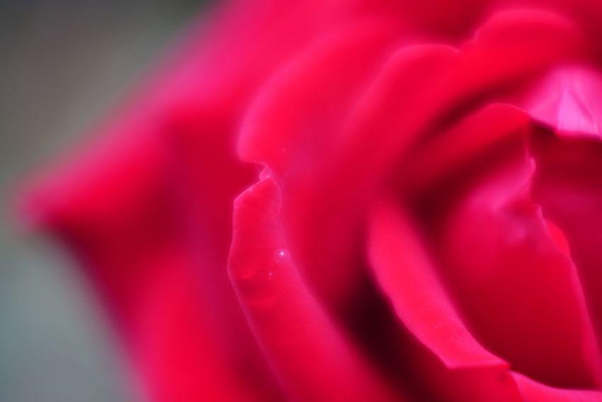 Macro Photography Close-up Red Rose EyeEm Bokeh Lovers Bokeh Photography Bokeh Meyer-Optik-Görlitz Meyer Optik Trioplan 50mm F2.9 Trioplan 50mm F2.9 Trioplan50 Trioplan 50mm Trioplan Beauty In Nature Rose - Flower Flower Nature In The City EyeEm Nature Lover The Purist (no Edit, No Filter) EyeEm Best Shots - Flowers EyeEm Best Shots - Nature EyeEm Best Shots Taking Photos Snapshot Walking Around お写ん歩