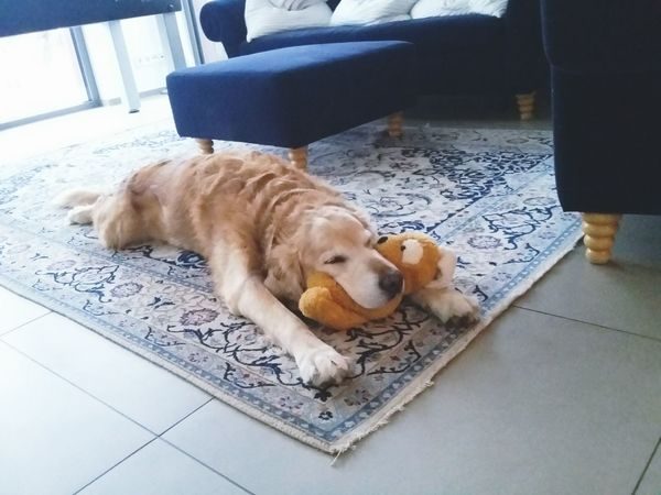 Indoors  Cute Dog DogPets Pets One Animal Animal Themes Domestic Animals Mammal High Angle View Relaxation Loyalty No People Day Cute Süss Süss Retriever, Retriver Toy Spielzeug
