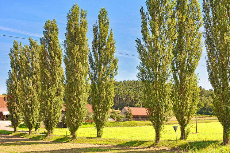 poplar line road Agriculture Avenue Of Poplars Day Field Grass Grassy Green Green Color Growth Landscape Nature No People Outdoors Plant Poplar-lined Road Poplars Relaxing Moments Remote Rural Scene Tranquil Scene Tree Tropical Climate