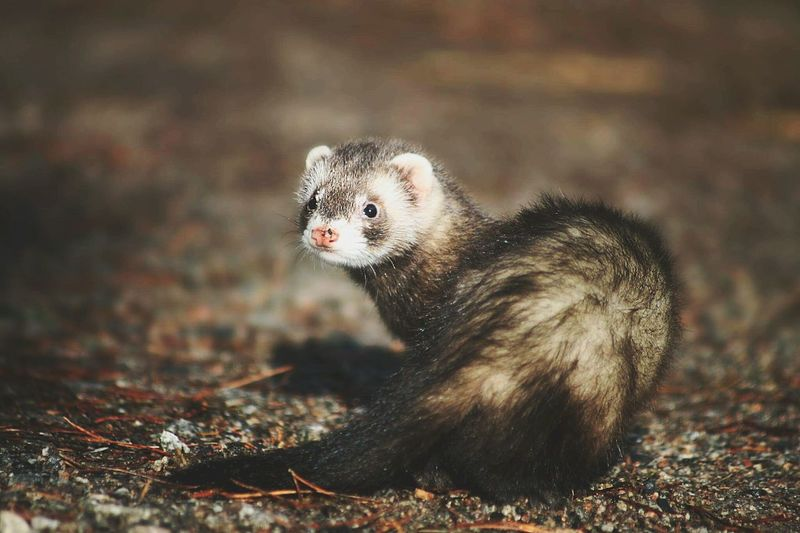 Ferret out huntinf Hunting Huntinginwoods Ferrets  Ferretsinfishbowls Ferret ❤️❤️❤️ Cute Pets Pet Photography  Petsagram Love ♥ Gorgeous ♥ Animals Woods Autumn🍁🍁🍁 Leaves🌿