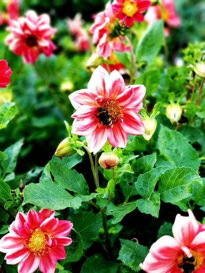 Bumlebee Flower Head Zinnia  Flower Leaf Pink Color Petal Pollen Close-up Blooming In Bloom Plant Life Blossom