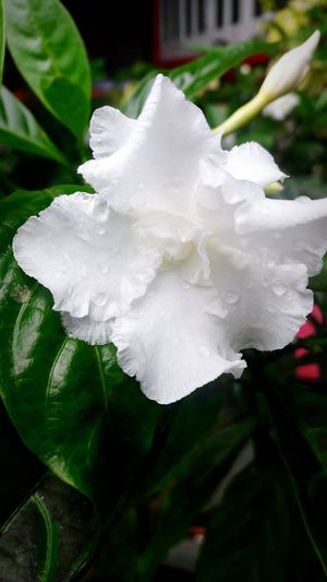 Flower Nature Close-up Leaf Plant Freshness Beauty In Nature Day Outdoors Whiteflowerphotography White Flower White Color