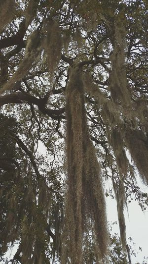 Tree Low Angle View Oaktree Graveyard Beauty Montgomery, Al. Oakwood Cemetery Cemetery Photography Mossy Tree Beauty In Nature