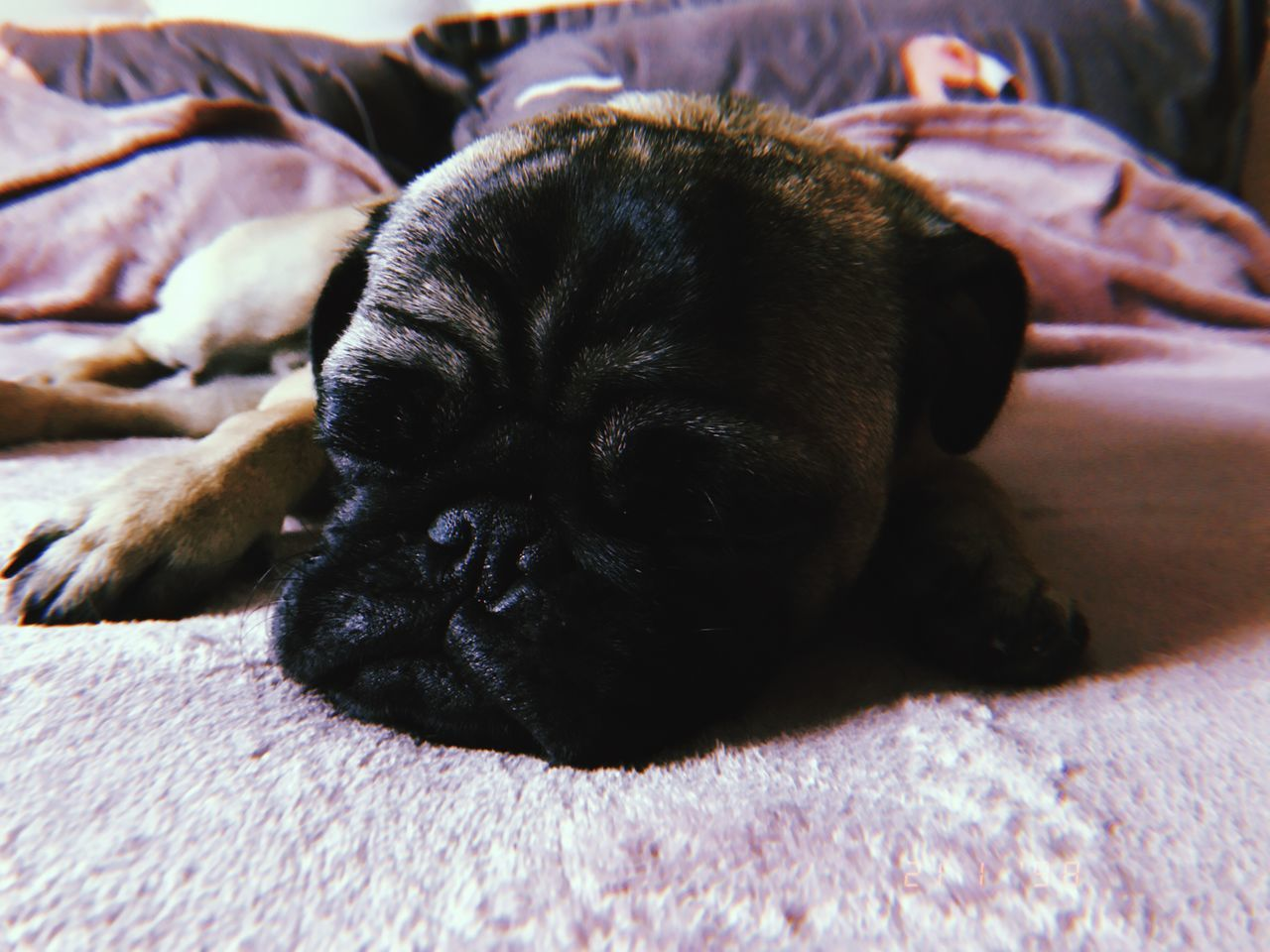 one animal, animal themes, mammal, animal, domestic, pets, dog, canine, relaxation, domestic animals, vertebrate, bed, furniture, resting, lying down, lap dog, indoors, no people, close-up, sleeping, small, animal head, napping
