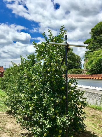Subject : A Large Number of Apple Trees Growing along the Wall of a Farmhouse. Growth Plant Sky Tree Cloud - Sky Nature Green Color Architecture Day Outdoors No People Beauty In Nature Built Structure Building Exterior . Taken in Higashi-Hiroshima , on Aug. 13, 2017 ( Submitted on Aug. 18, 2017 )