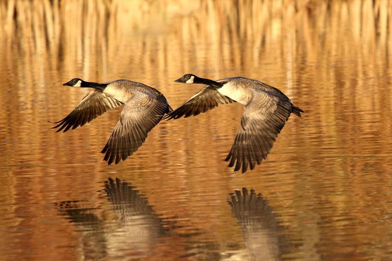 Birds flying over lake
