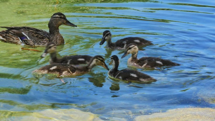 Nature Photography Animal_collection Ducks At The Lake Animal Duck Animal Photography Duck Swimming Duckfamily Duck Family Young Duckies Playing Water At The Lake Animals Waterbirds Waterbird