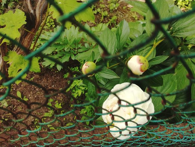 Nature Day Green Color Chainlink Fence No People Growth Food And Drink Fishing Net Outdoors Tree Close-up Food Freshness