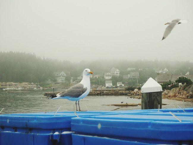 Deer Isle Maine Bird Vertebrate Animal Themes Animal Animals In The Wild Animal Wildlife Group Of Animals Seagull Day Two Animals