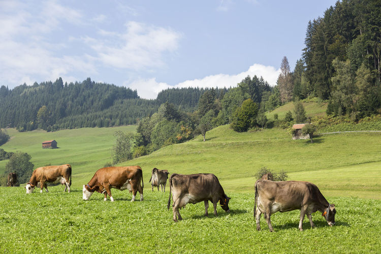 Agriculture Allgaeu Animal Bavaria Cattle Day Domestic Animals Grass Grazing Green Color Landscape Livestock Mammal Mountain Nature No People Outdoors Pasture Scenics Sky Social Issues Tree