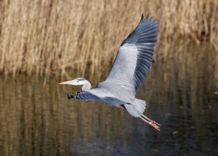 Heron flying over lake