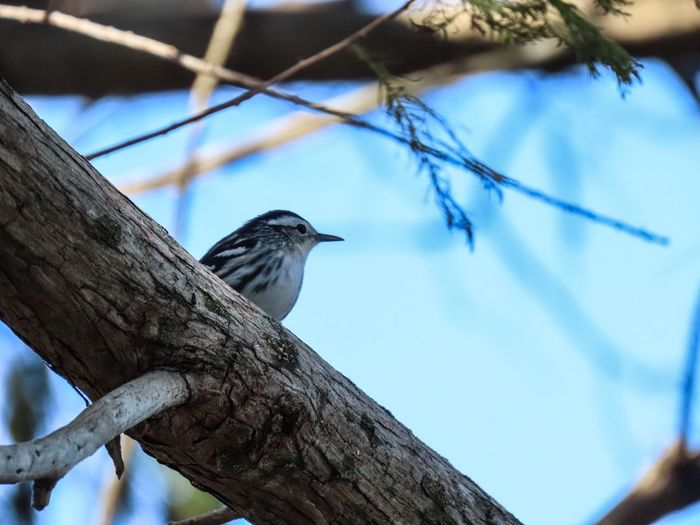 Bird perched atop a large tree limb black and white warbler birds of EyeEm focus on the foreground blue sky beauty in nature Animal Wildlife Animal Themes Branch Low Angle View No People