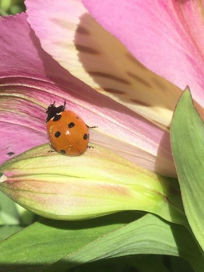 Coccinelle Insect One Animal Animal Themes Invertebrate Animal Animal Wildlife Animals In The Wild Flower Beauty In Nature Nature