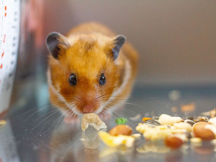 Glutton Golden Adorable Children's Pets Chubby Close-up Cute Cute Hamster Fluffy Golden Hamster Hamster Hamster Food Looking At Camera One Animal Pet Rodent Pets Rodent Small Pets Small Rodent Golden Adorable Children's Pets Chubby Close-up Cute Cute Hamster Fluffy Golden Hamster Hamster Hamster Food Looking At Camera One Animal Pet Rodent Pets Rodent Small Pets Small Rodent