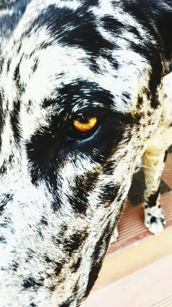 Pretoria Mansbestfriend Greatdane Eye