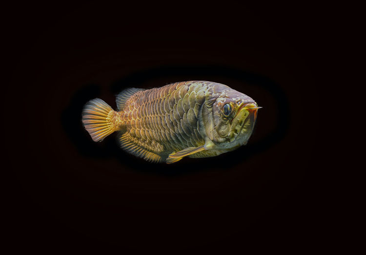 arowana malaysia gold 24 K in aquarium fish Animal Fish Indoors  Studio Shot Copy Space Animal Wildlife No People Animal Themes Close-up One Animal Black Background Cut Out Vertebrate Animals In The Wild Nature Water Sea Sea Life Swimming Marine