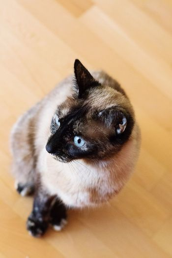 Yuki, our beautiful Siamese Manx cat Cat Cat Photography Pet Pet Photography  Siamese Cat Manx Cat Siamese Manx Home Is Where My Cat Is Beautiful Blue Eyes EyeEm Best Shots EyeEm Animal Lover Beige And Blue Animal Photography Tadaa Community Tortoiseshell Tortoiseshell Cat