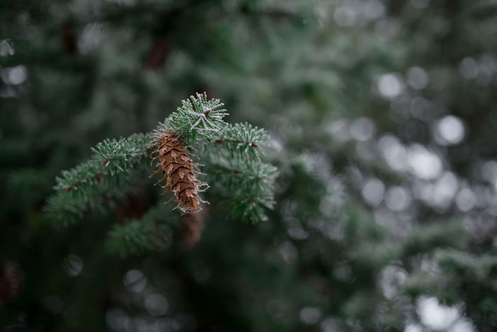Spruce tree branch with cone covered with snow and ice Tree Winter Beauty In Nature Branch Close Up Close-up Connection Fern Focus On Foreground Green Color Nature No People Outdoors Plant Snow Snowy Spruce Spruce Cone