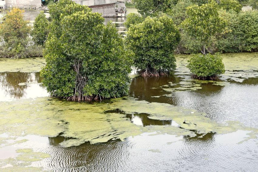 Animal Themes Beauty In Nature Day Floating On Water Green Color Growth Lake Mangrove Mangrove Forest Mangrove Forests Mangrove Life Mangrove Plant Mangrove Roots Mangrove Swamp Mangrove Tree Mangrove Trees Mangroveplant Mangroves Nature No People Outdoors Reflection Tranquility Tree Water