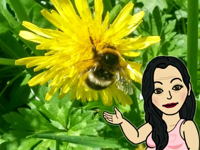 ............and heres a crappy photo of a bumblebee😄 Flower Yellow Nature Beauty In Nature Freshness Animal Themes Fragility Insect Close-up Plant Flower Head Petal Pollination Growth Outdoors Bumblebee Dandelion 2017 Welcome! 2017 Summer New Zealands Summer😍 Bitmoji Series On EE Selfie ✌ Women Who Inspire You Women Of EyeEm
