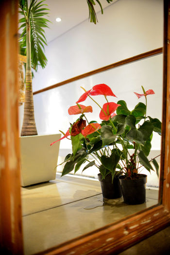 Anthurium Plant Indoors  Potted Plant Nature No People Flower Flowering Plant Growth Leaf Plant Part Vase Beauty In Nature Freshness Flooring Houseplant Flower Head Flower Pot Anthurium Anthurium Flower EyeEm EyeEm Best Shots Eye4photography  Getting Inspired Reflection Mirror Reflection