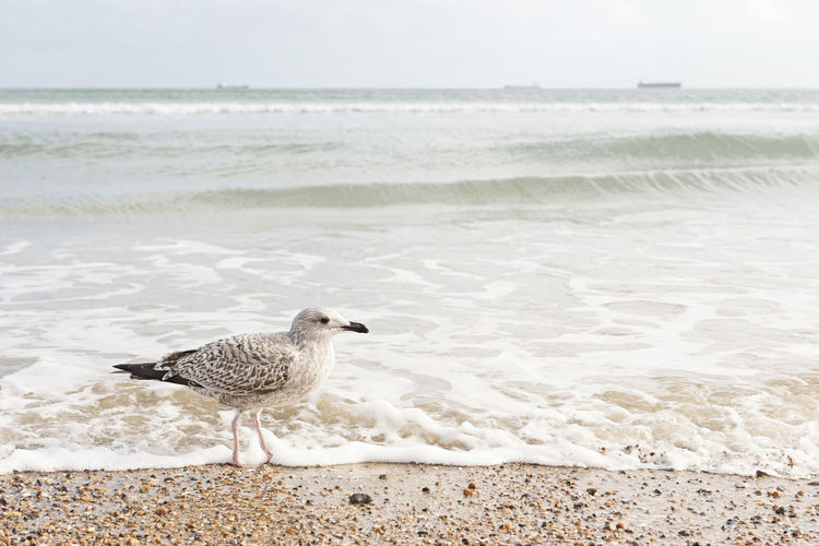 Seagull on the Beach Beach Sea Water Animal One Animal Beauty In Nature Bird Seagull Wave Motion Sand Nature Holiday Vacations Copy Space Background Sandy Beach Beauty In Nature Beautiful Environment Conservation Summer Summertime Sunny Shore