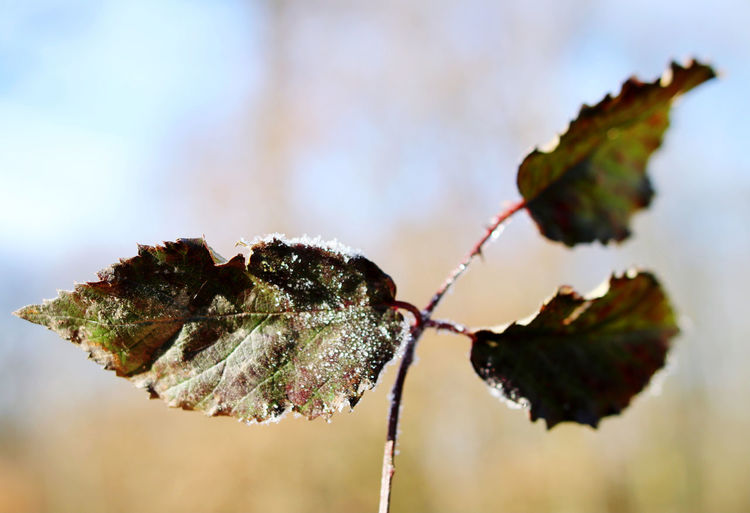 Close-up of dried leaves on plant during winter