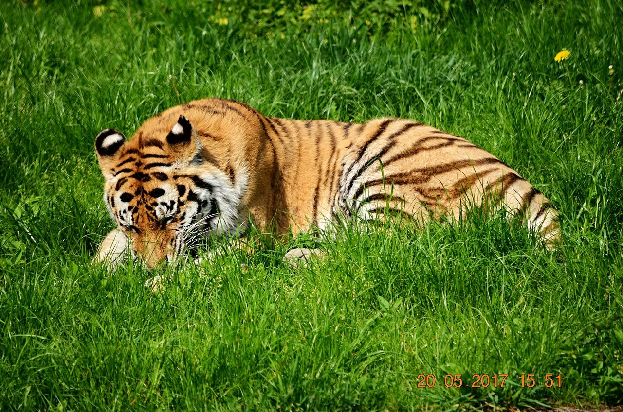 grass, one animal, animals in the wild, tiger, animal wildlife, animal themes, green color, day, nature, outdoors, feline, mammal, no people