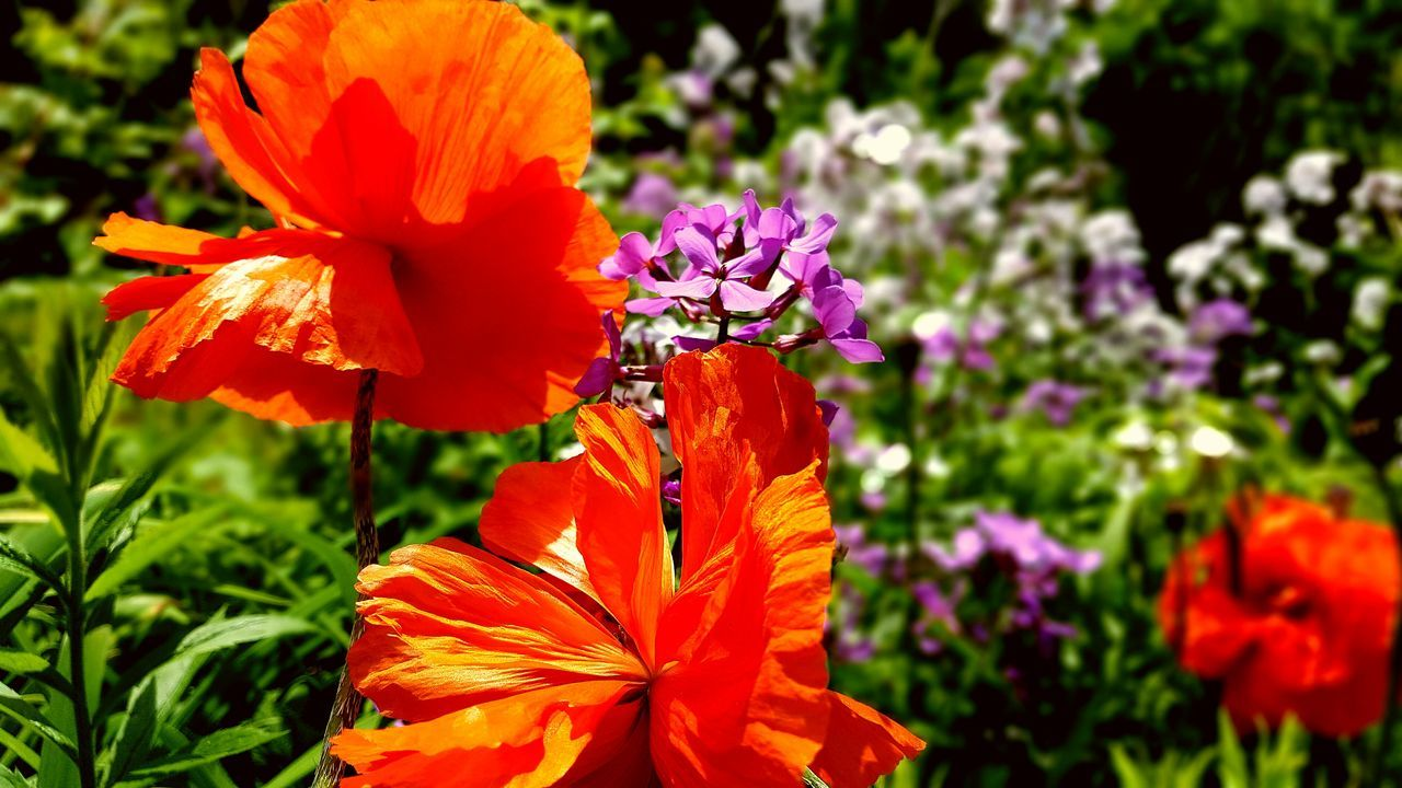 flower, petal, freshness, fragility, beauty in nature, orange color, flower head, nature, growth, blooming, plant, vibrant color, no people, day, outdoors, focus on foreground, purple, park - man made space, sunlight, springtime, close-up, red, poppy, hibiscus, petunia, day lily