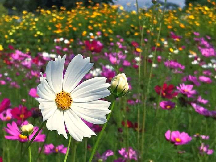 Cosmos field White Flower White Cosmos Field Cosmos Flowering Plant Flower Plant Freshness Fragility Vulnerability  Petal Beauty In Nature Pink Color Day Field Cosmos Flower Nature Close-up Flower Head Growth