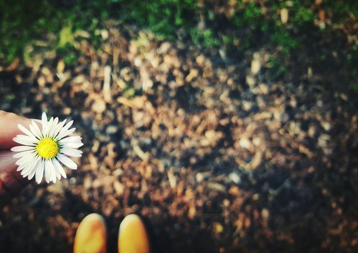 Flower 🌼 Spring Flower Emotion Moments Enjoying Nature Nature Nature Photography Dorfkind Gänseblümchen Blume