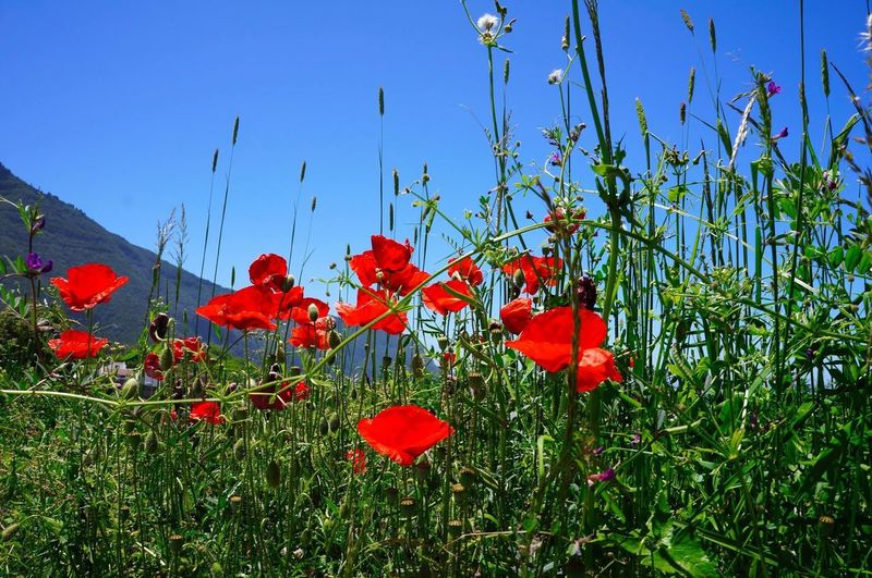 Red Flower Plant Growth Nature Poppy Sky Tree No People Outdoors Beauty In Nature Day Freshness